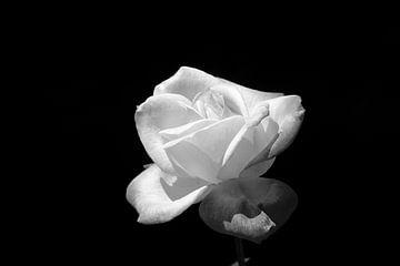 roos in zwart wit met zwarte achtergrond van W J Kok