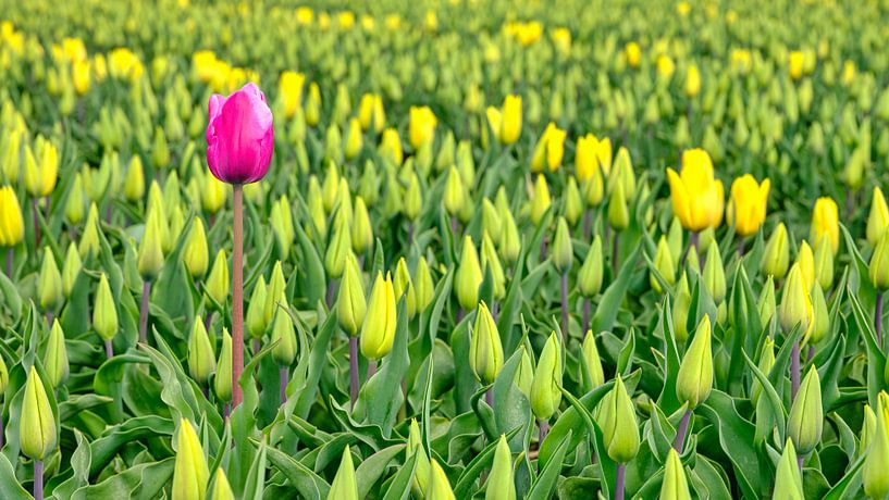 Rode tulp in een geel tulpenveld van eric van der eijk