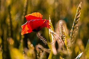 Mohnblume am frühen Morgen