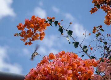de Kolibrie in vlucht