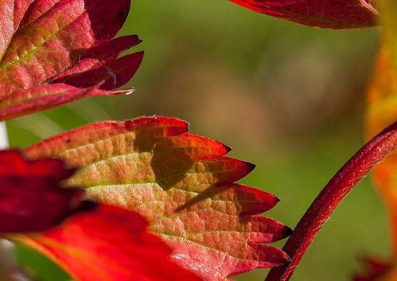 Aardbei plant van Fouchienus Molema