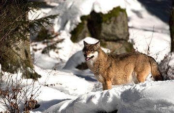Wolf von Teus Reijmerink