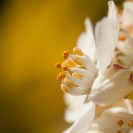 Witte bloem op gele achtergrond van Danny Motshagen