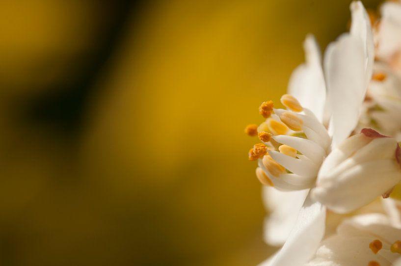 Macro opname van witte bloem op gele achtergrond van Danny Motshagen