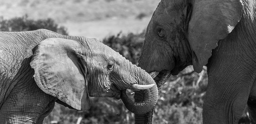 Olifanten in Addo Elephant Park van Chris van Kan