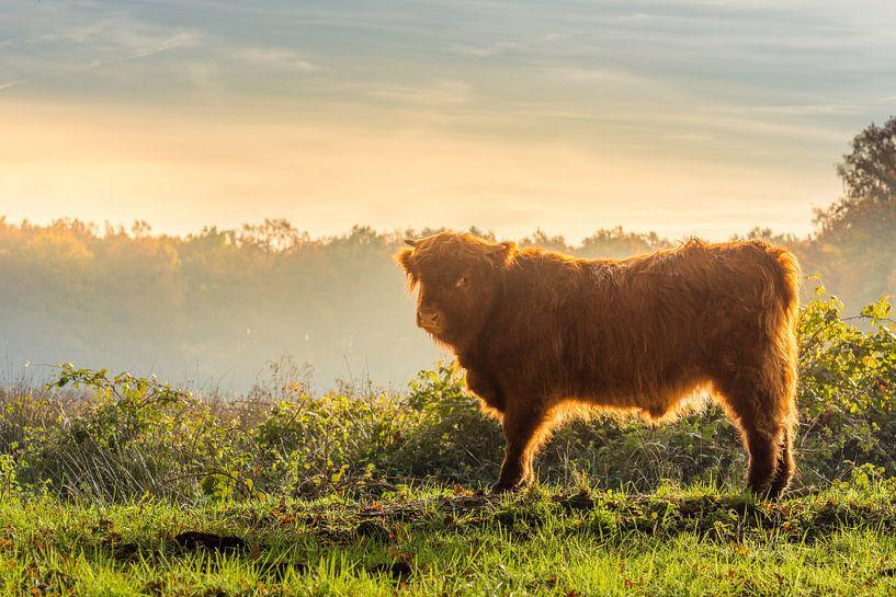 Jonge Schotse hooglander tijdens een  koude zonsopkomst van John van de Gazelle