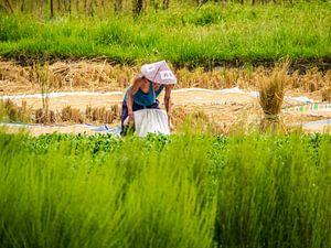 Man in zijn rijstveld aan het werk. van