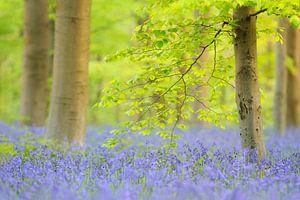 In het bos van blauwe bloesems - blauwbloemen zo ver het oog reikt van Rolf Schnepp