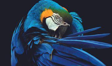 Papegaai - Ara in blauw met goed duidelijk zijn: Snavel, Veren en Vleugels van Hendrik Jonkman