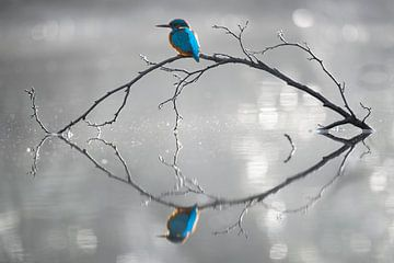 IJsvogel reflectie van