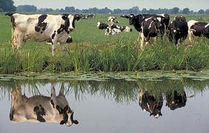 Koeien spiegelen in een sloot