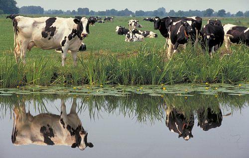 Koeien spiegelen in een sloot van
