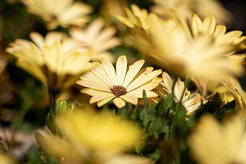 Een portret van een gele Spaanse margriet in focus tussen andere bloemen van dezelfde soort. van Joeri Mostmans