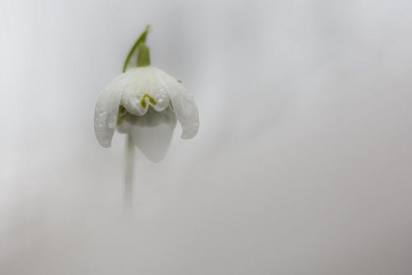 Sneeuwklokje van Pim Leijen