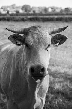 Stier von Antoon van Osch