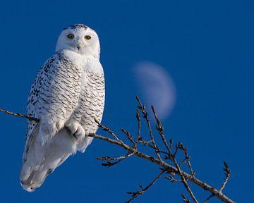 Snowy Owl van Renald Bourque