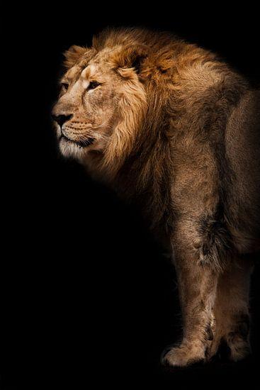 macht en kracht. Een krachtig Aziatisch leeuwenmannetje tegen de achtergrond van een donkere grot, b