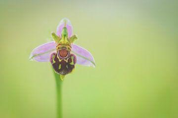 Een Bijenorchidee van Karin Tebes