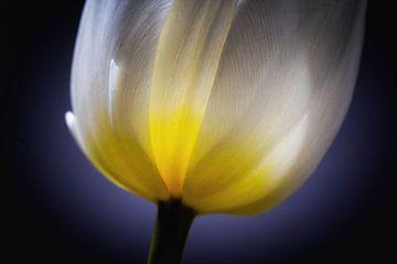 Tulpe von Rene van Rijswijk