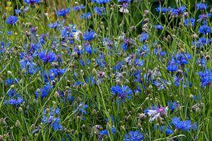 Veld vol met bloeiende blauwe korenbloemen