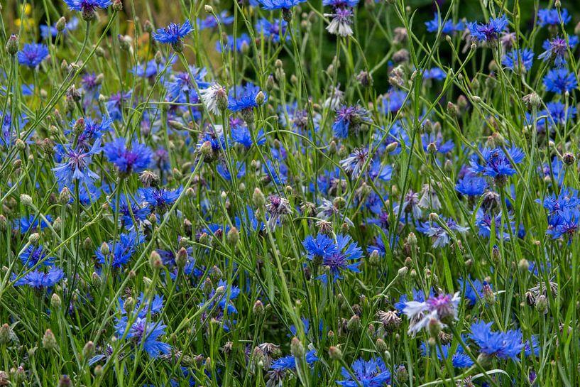 Veld vol met bloeiende blauwe korenbloemen van JM de Jong-Jansen