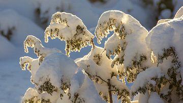 Zweige mit Schnee, Norwegen von Adelheid Smitt