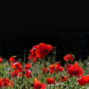 Red poppies in summer van Ralf Schroeer