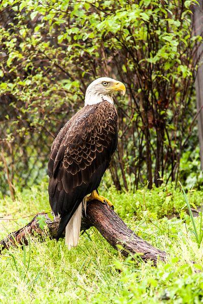 Bald Eagle van Wijbe Visser
