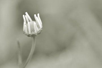 Wildes Gänseblümchen von Shutterbalance