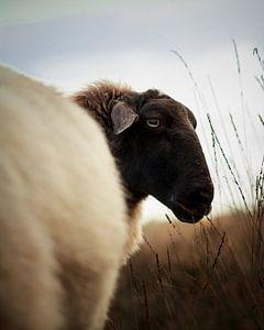 Portrait of sheep in heather field I