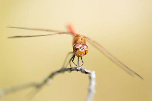 Grumpy Libelle