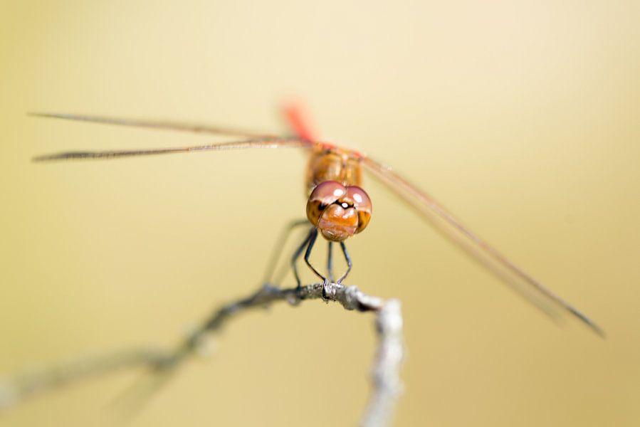 Grumpy Libelle van Herwin Wielink