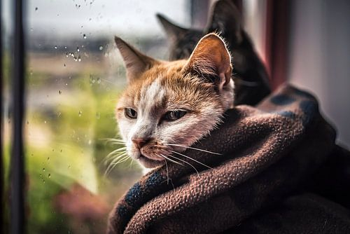 Katten In De Regen van