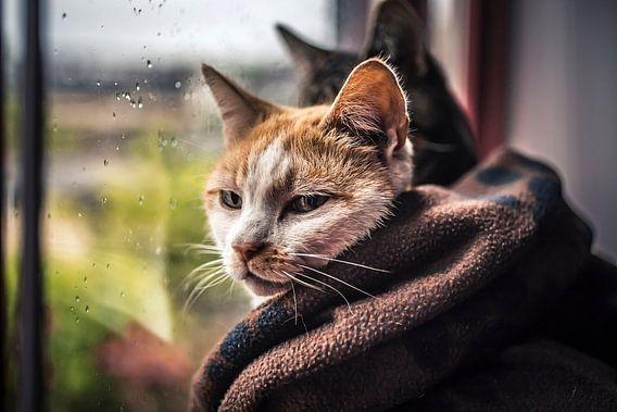 Katten In De Regen