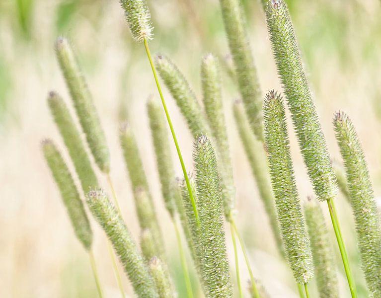 Bloeiend gras in de wind