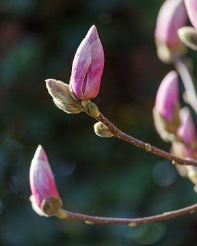 Magnolia (2) von Mayra Pama-Luiten