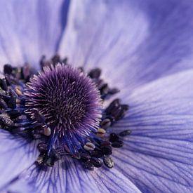 Blauwe Anemoon van Margreet Frowijn