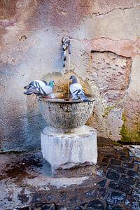 Tauben von Piet Van Damme