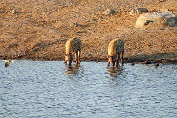 zwei Hyänen löschen den Durst von Merijn Loch