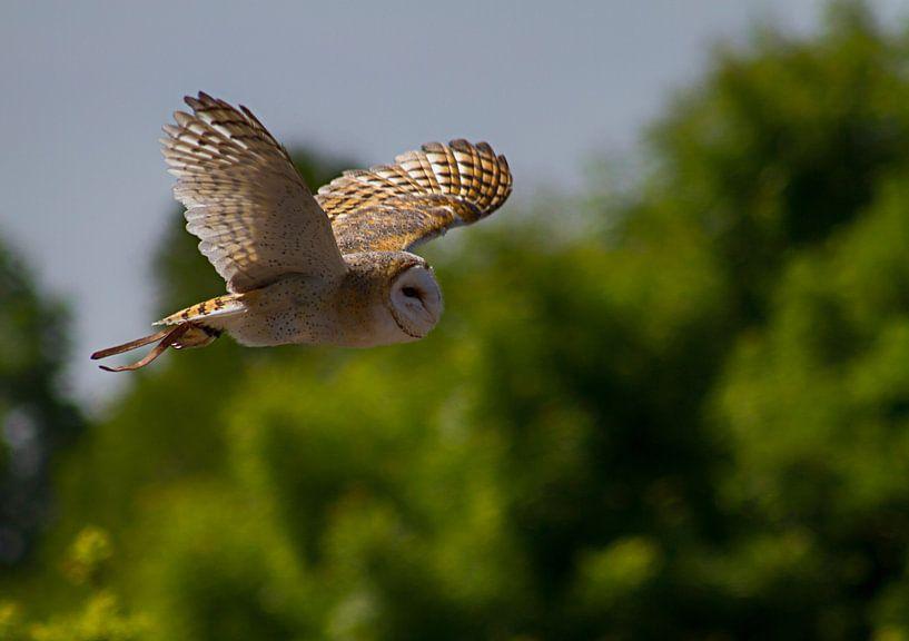 Barn owl sur noeky1980 photography