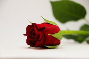 rode roos van Pfotowelt