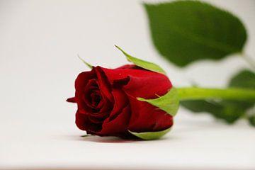 rote Rose von Pfotowelt