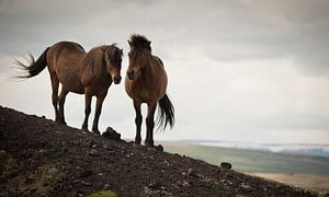 twee paarden van