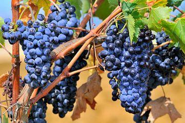 Blauwe druiven aan wijnrank van Ivonne Wierink