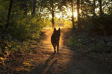 Berger allemand au coucher du soleil
