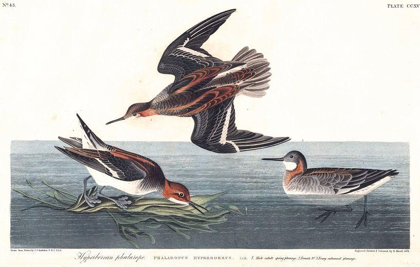 Grauwe Franjepoot van Birds of America