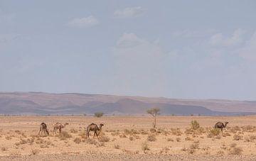 Kamele in der Wüste Sahara (Erg Chegaga - Marokko) von Marcel Kerdijk
