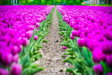 Paarse Tulpen veld van Patrick Verhoef