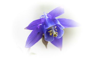 Akelei, paars van Ingrid Aanen