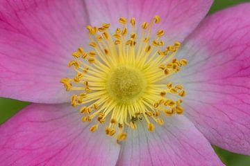 Gele en roze bloem